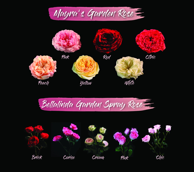 Roses In Garden: Mayra Garden Rose & Bellalinda Garden Spray Rose